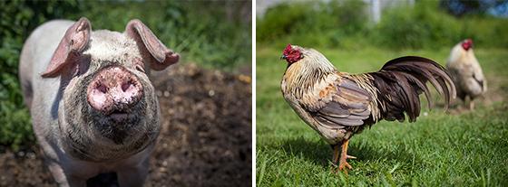 Willowood Farm Animals