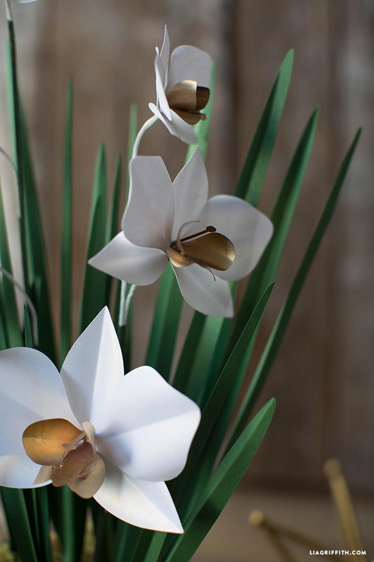 Paper_Orchid_Blooms_Plant