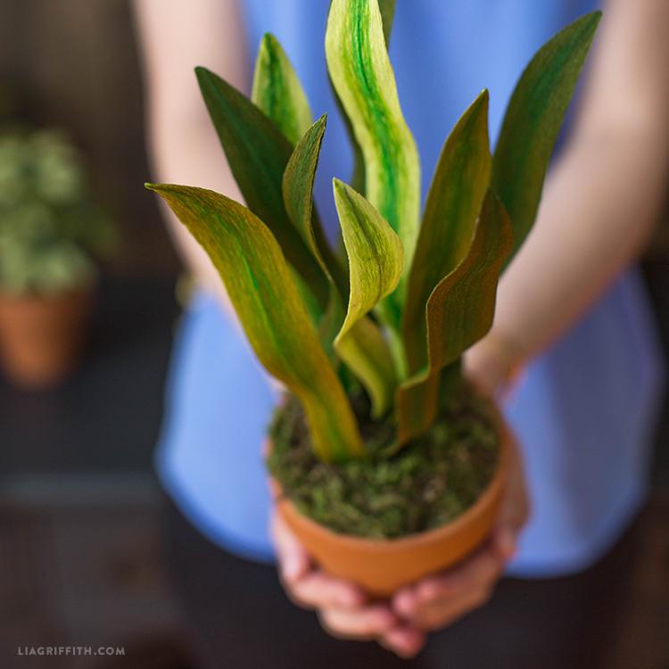 Crepe Paper Snake Plant