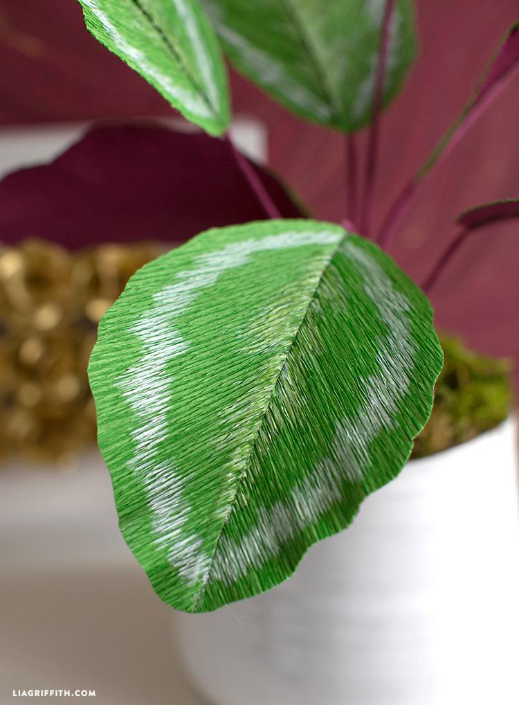 crepe calathea plant