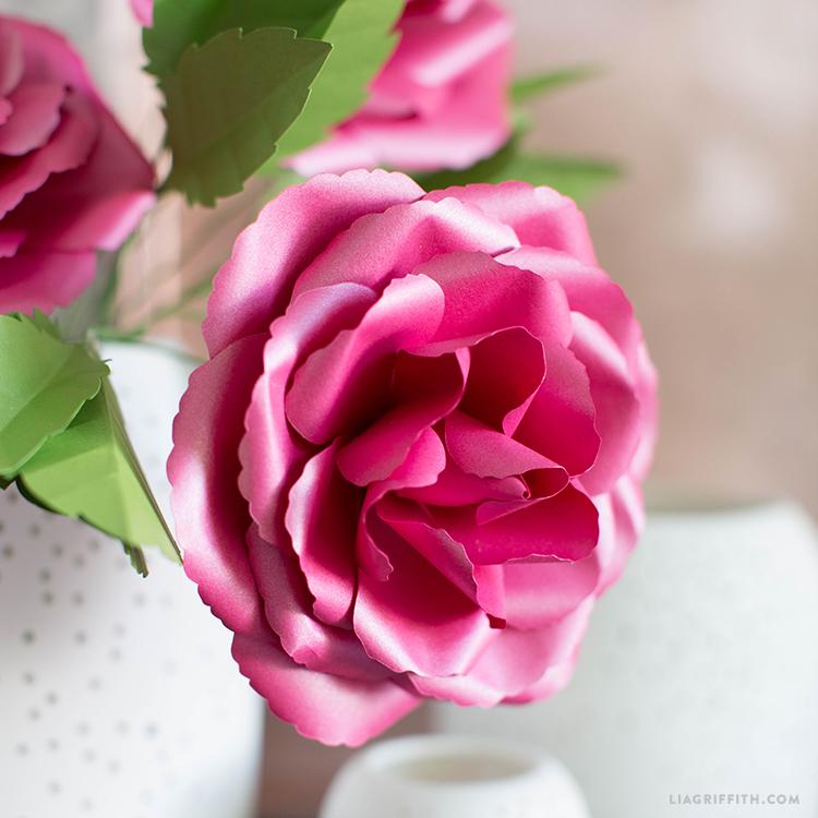 full bloom garden rose