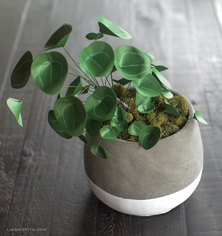 Chinese money plant (Pilea) in pot on table