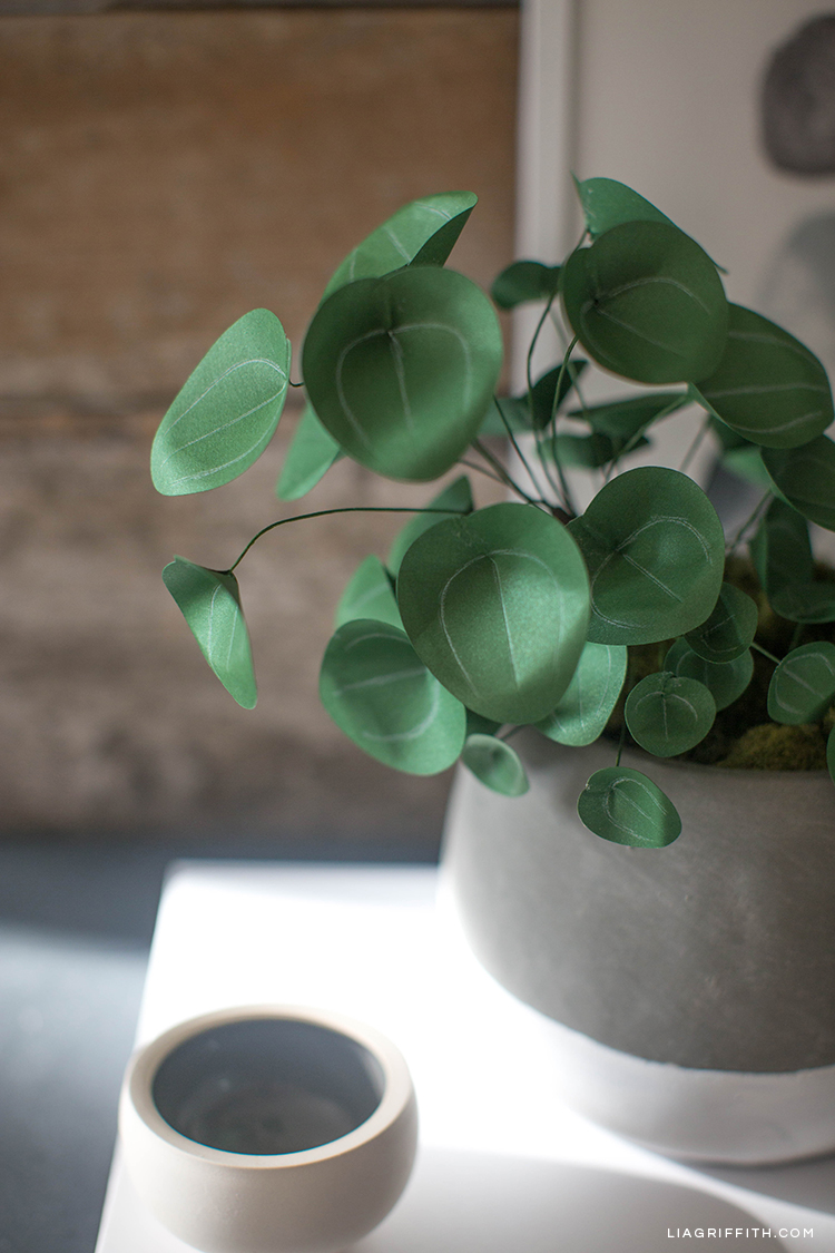 Chinese money plant (Pilea plant) in pot