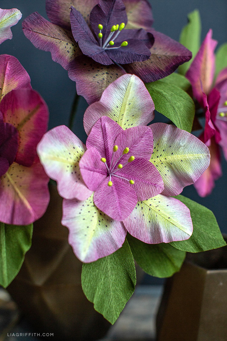 Pink and purple Hellebore flowers (Christmas rose)