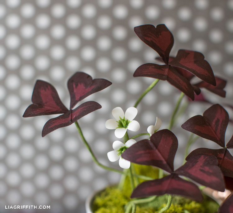 paper oxalis plant with small white flowers against grey and white polka-dot background