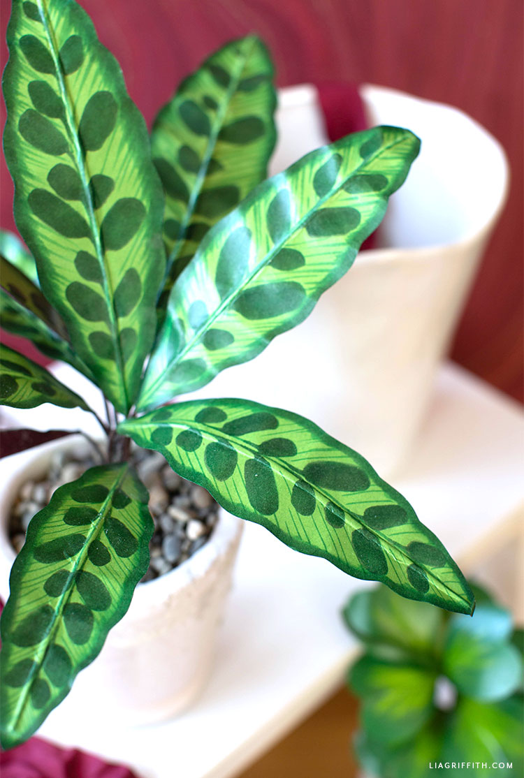 close-up of paper rattlesnake plant