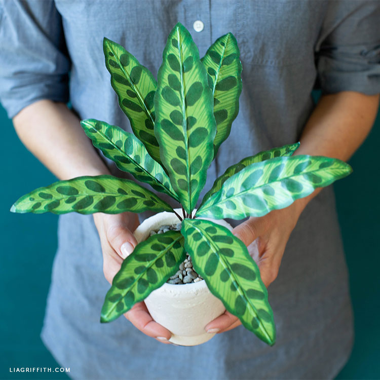 Woman holding potted paper rattlesnake plant