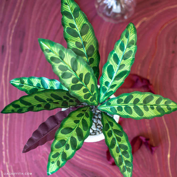 top-down view of paper rattlesnake plant