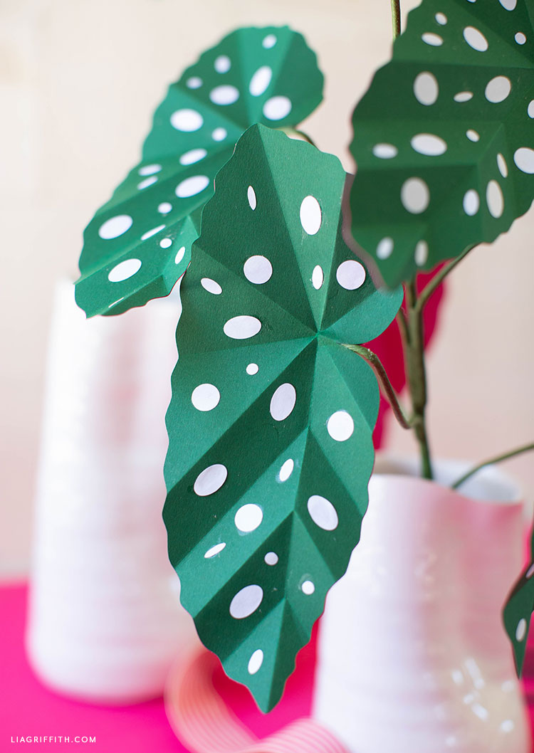 paper polka dot begonia