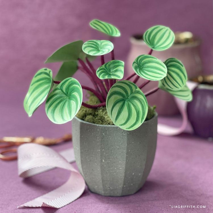 frosted paper watermelon peperomia