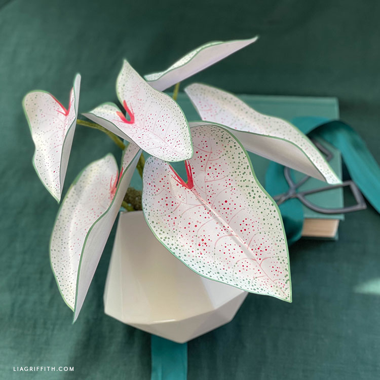 frosted paper night blooming caladium